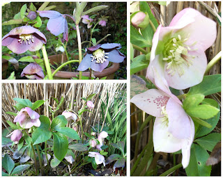 Collection d'hellebore