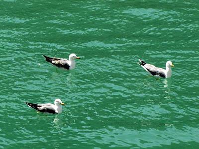 Floating gulls, Fosso Reale, Livorno