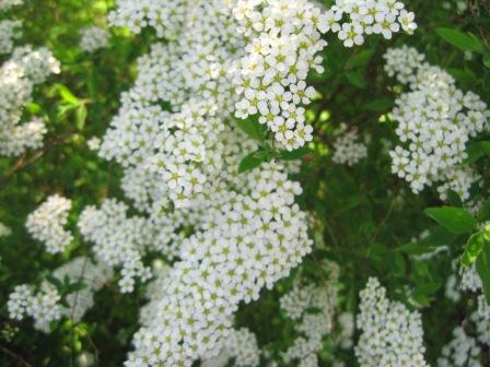 Weiß blühender strauch