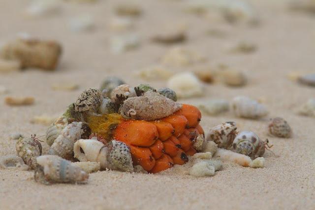Eermit Crabs