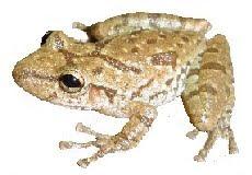 Perereca-de-Banheiro (Scinax fuscovaria)