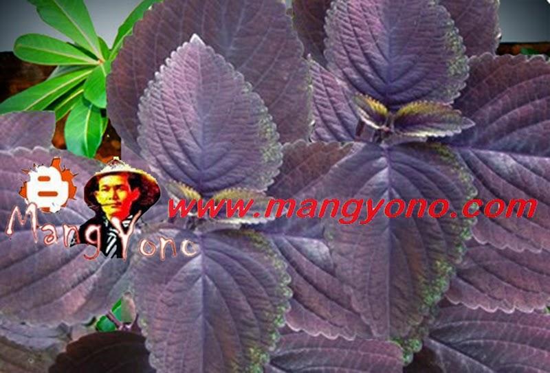 Tanaman Jawer Kotok berwarna cokelat merah tua polos