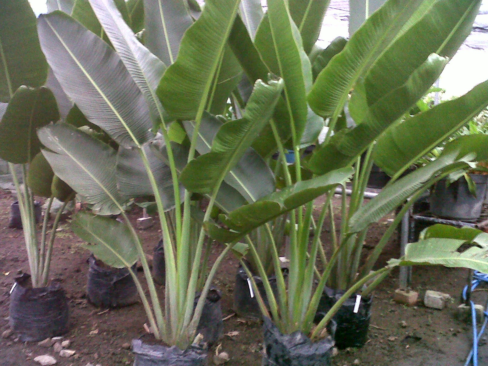 Jual pohon pisang kipas | (Revenala madagascariensis) | (Traveller's Palm) | suplier tanaman | tanaman hias | jasa deain taman