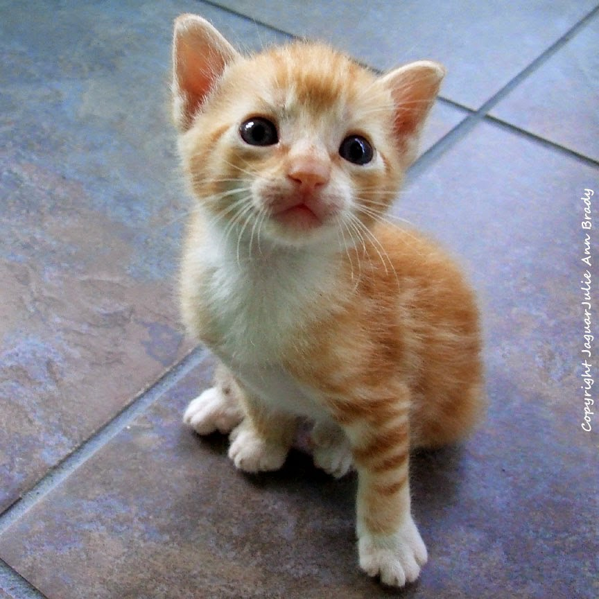 orange with white tabby kitten for adoption