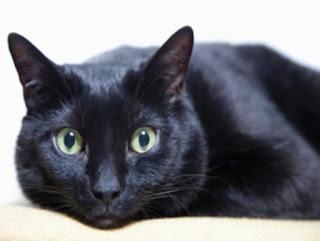 Os 7 maiores mitos sobre os gatos,curiosidades,gatos,mitos,mitos sobre os gatos,gato preto