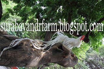 Klik Gambar Ini NDFR Farm