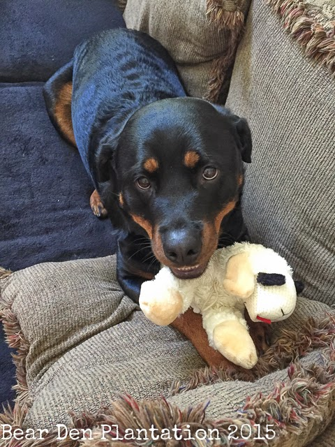 Rottweiler with Lamb Chop stuffed toy