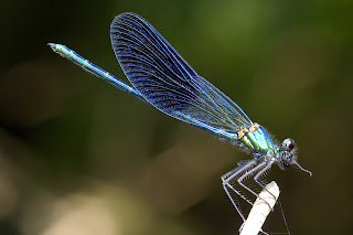 Para ampliar Calopteryx xanthostoma hacer clic