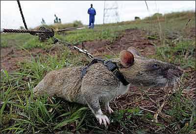 非洲 掃雷巨鼠