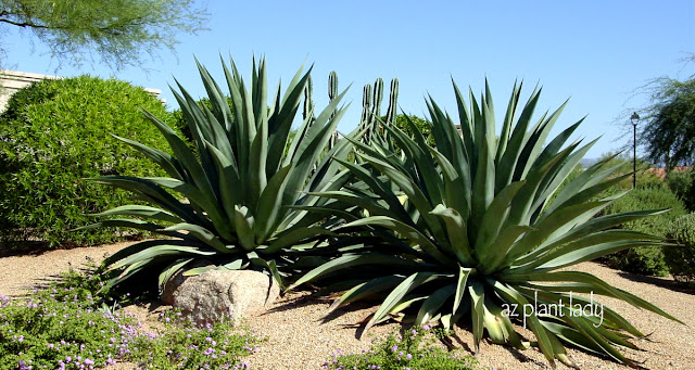 Weber s agave agave weberi is a large agave that can grow 5 to 6 ft