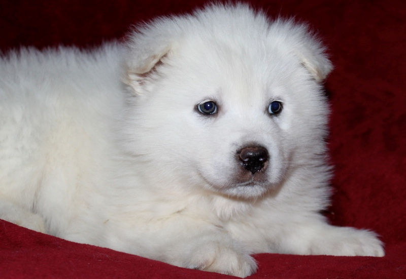 Beautiful White Alaskan Malamute Puppies Photos | Cute ...