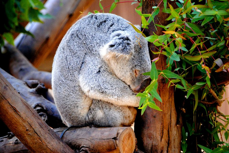 26. Sleeping Koala by Heather Killingsworth