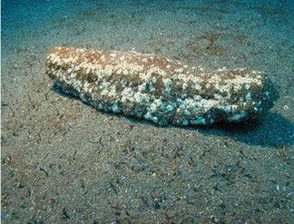 furry sea cucumber 01 ΔΕΙΤΕ: Τα πιο παράξενα πλάσματα που έχουν βρεθεί στην θάλασσα!