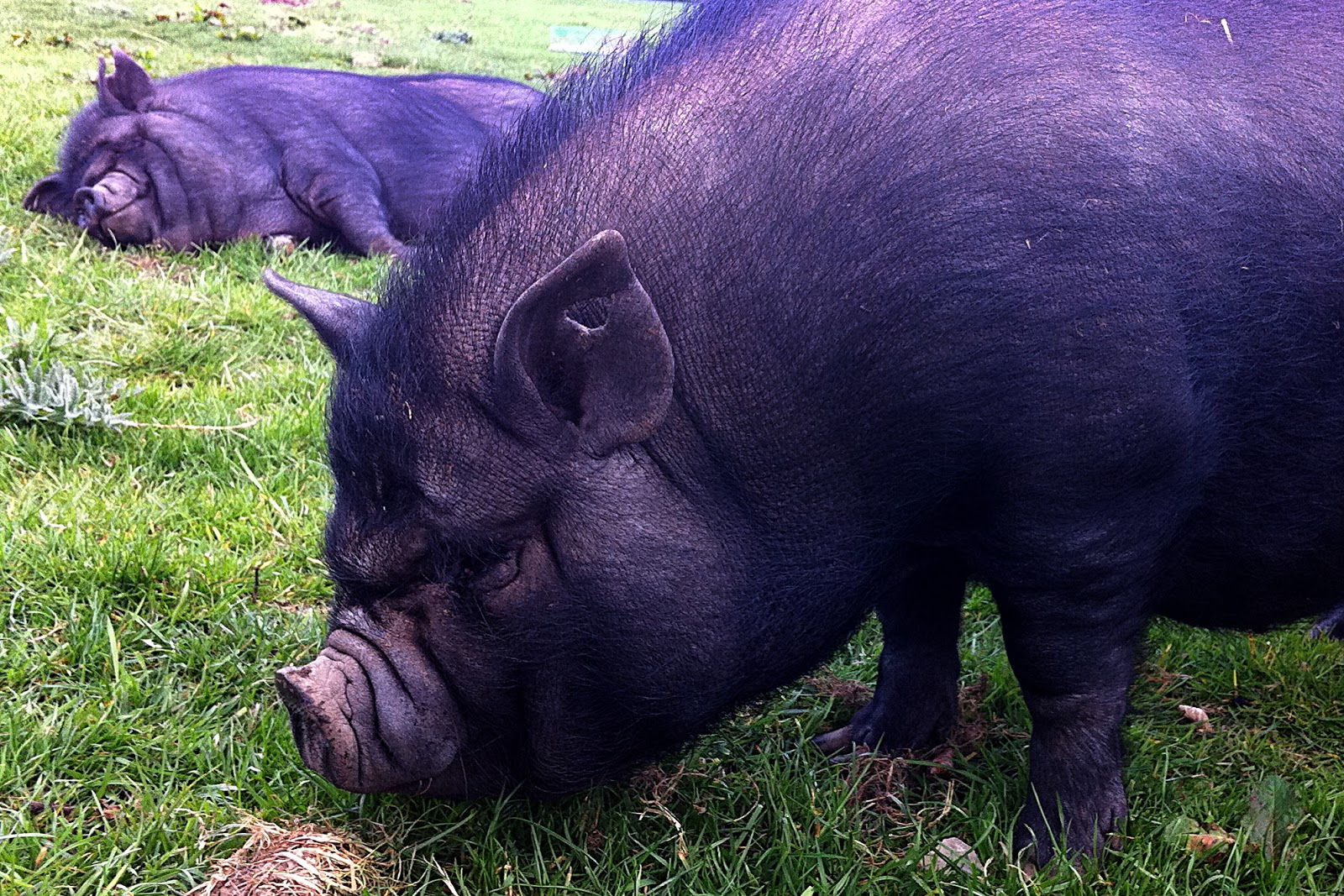 pot bellied pig height