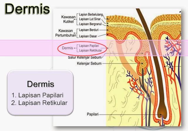 lapisan dermis kulit, lapisan papilari kulit, lapisan retikular kulit, kelenjar minyak, serat elastin dan kolagen