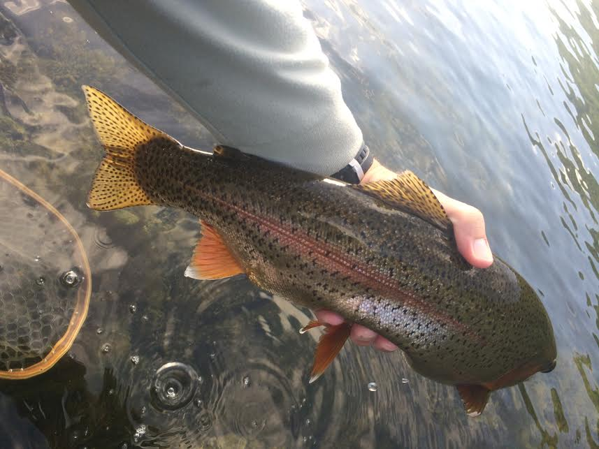 Fly fish east tennessee clinch river fishing report for Clinch river fishing