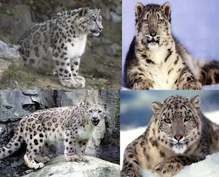snow leopard wallpaper wild animal panthera uncia pets