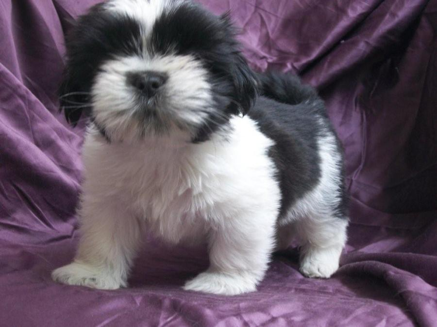 Cute Puppy Dogs: black and white shih tzu puppies Cute Pitbull Puppy Black