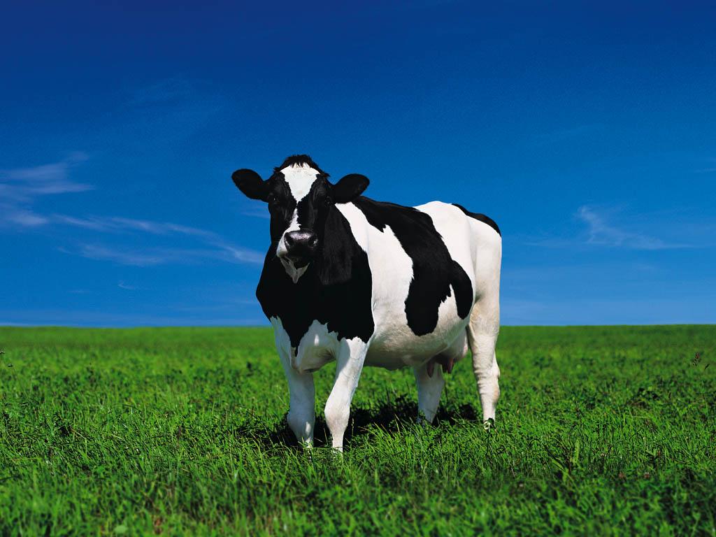Beautiful Cows   Wild ...