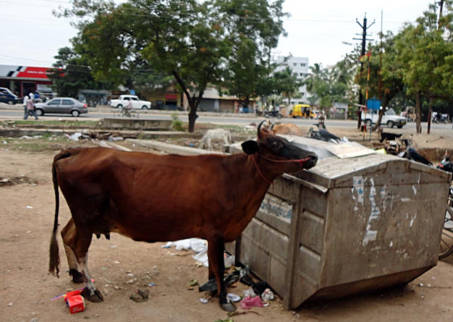stray cow sniffing garbage