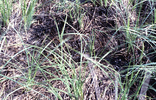 grass leaves, Poaceae, grass family