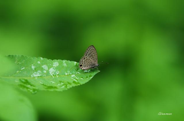 雞南山的南方娜波灰蝶