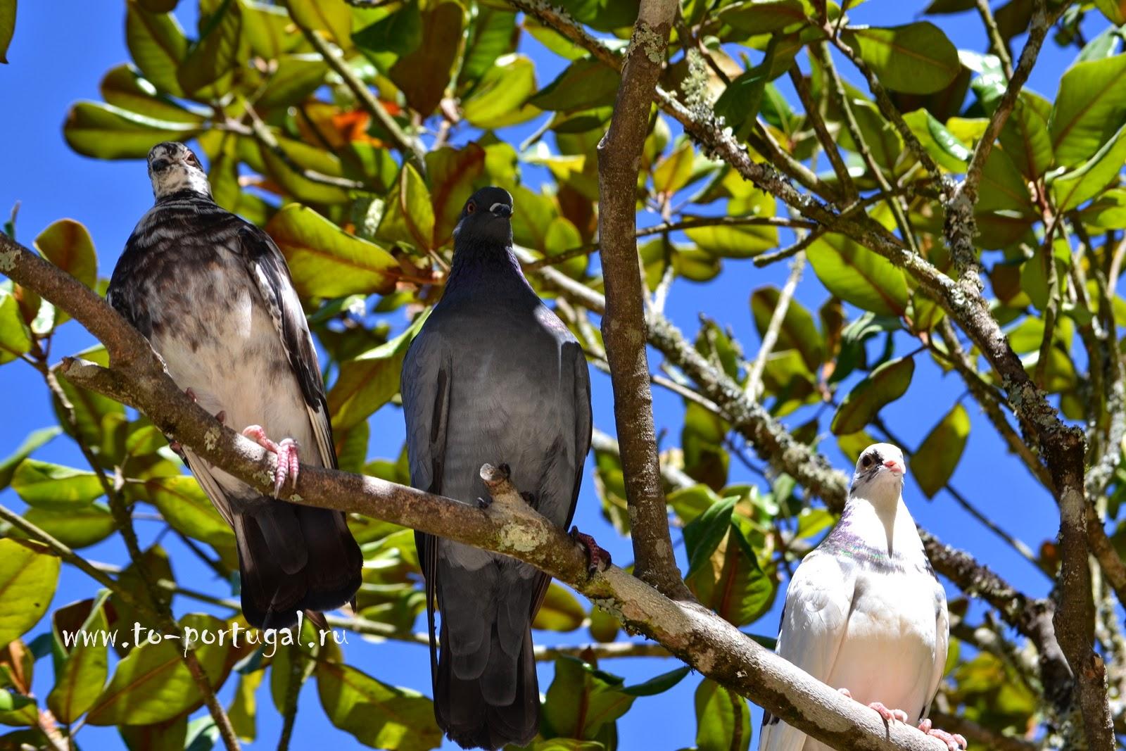 португальские птицы