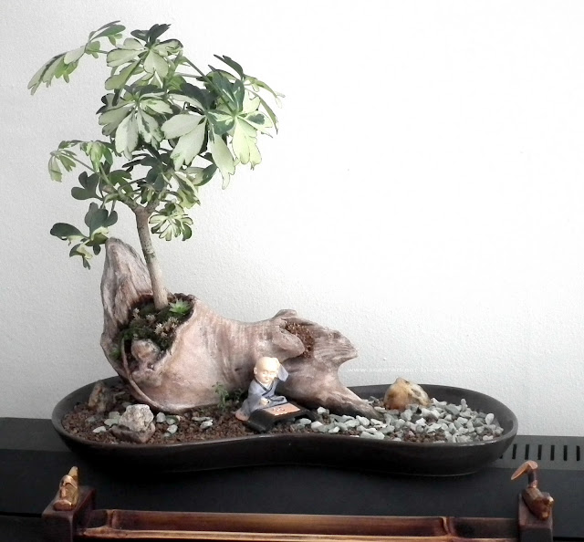 Seashore landscape - Dwarf Schefflera Arboricola, Umbrella Tree potted in Driftwood