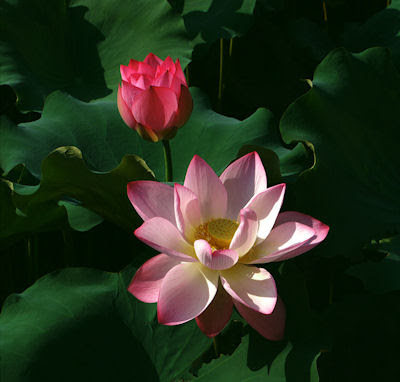 Flor de loto en los pantanos de Indonesia - Lotus flower