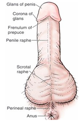 http://www.webmd.com/men/guide/8-things-you-did-not-know-about-your-penis