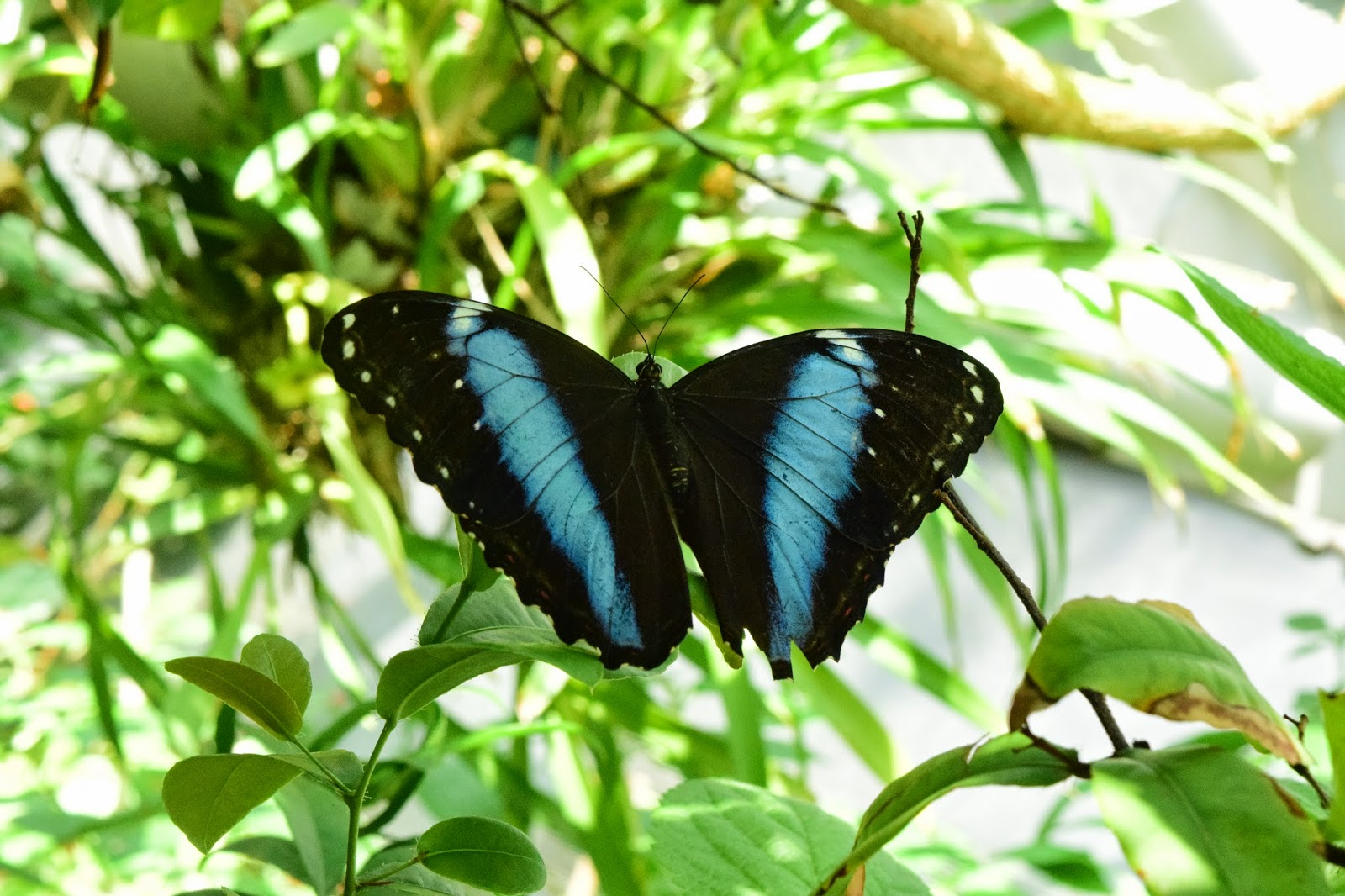 Morpho Achilles Butterfly