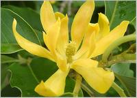 tanaman obat Cempaka Kuning (Miche!ia champaca L.)