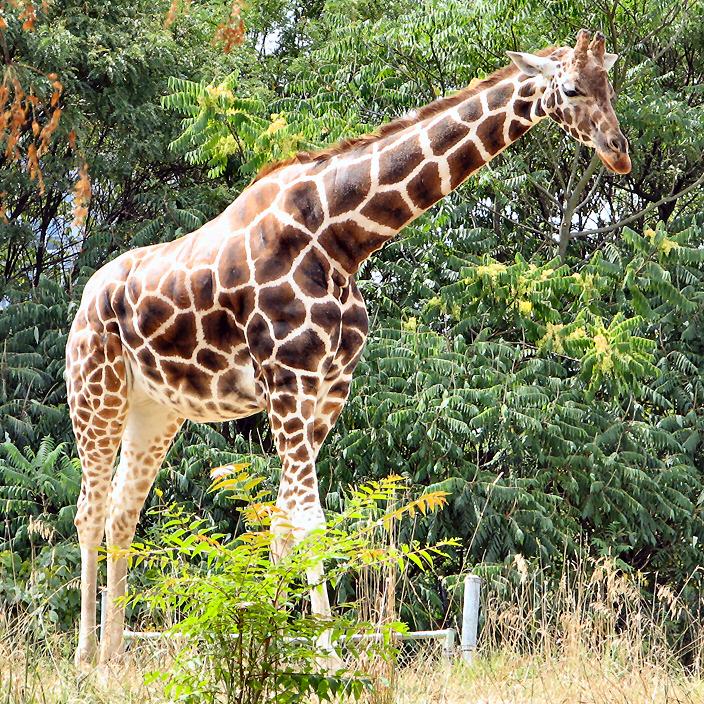 Bobcat Of Pittsburgh >> Giraffe | Wildlife | The Wildlife