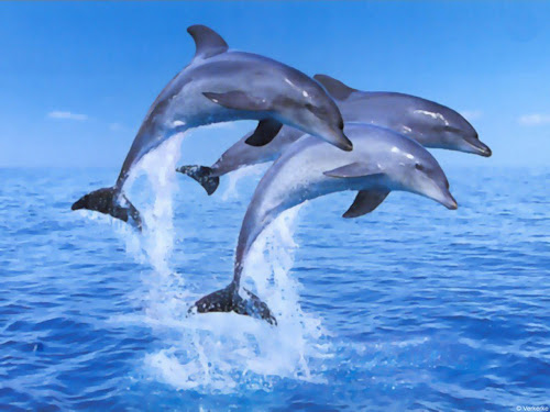 gambar lumba-lumba - gambar lumba