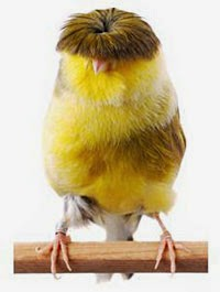 Gambar Cara Merawat Burung Kenari Frill