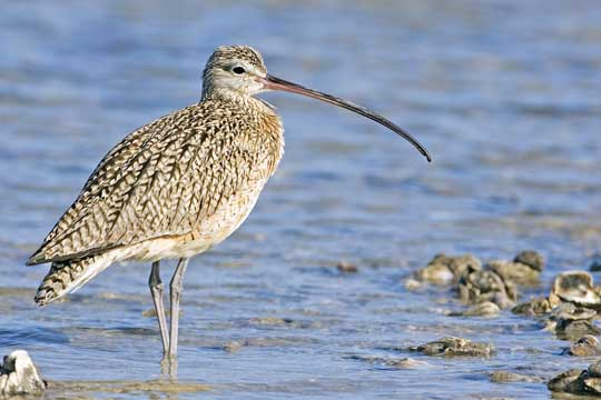 Most Amazing Extinct Arctic Animals Eskimo Curlew