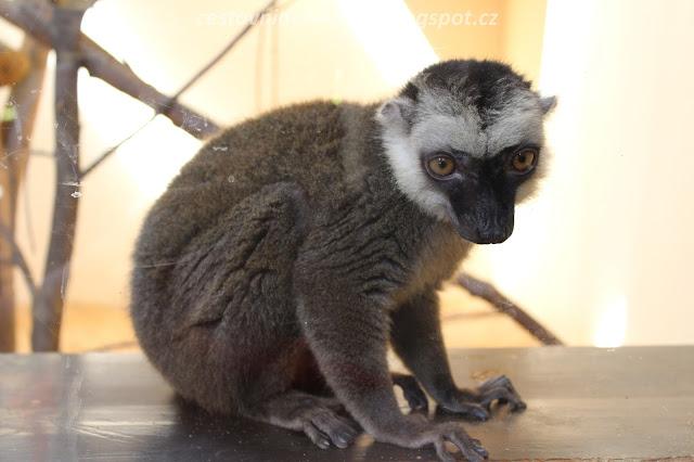 lemur // a lemur