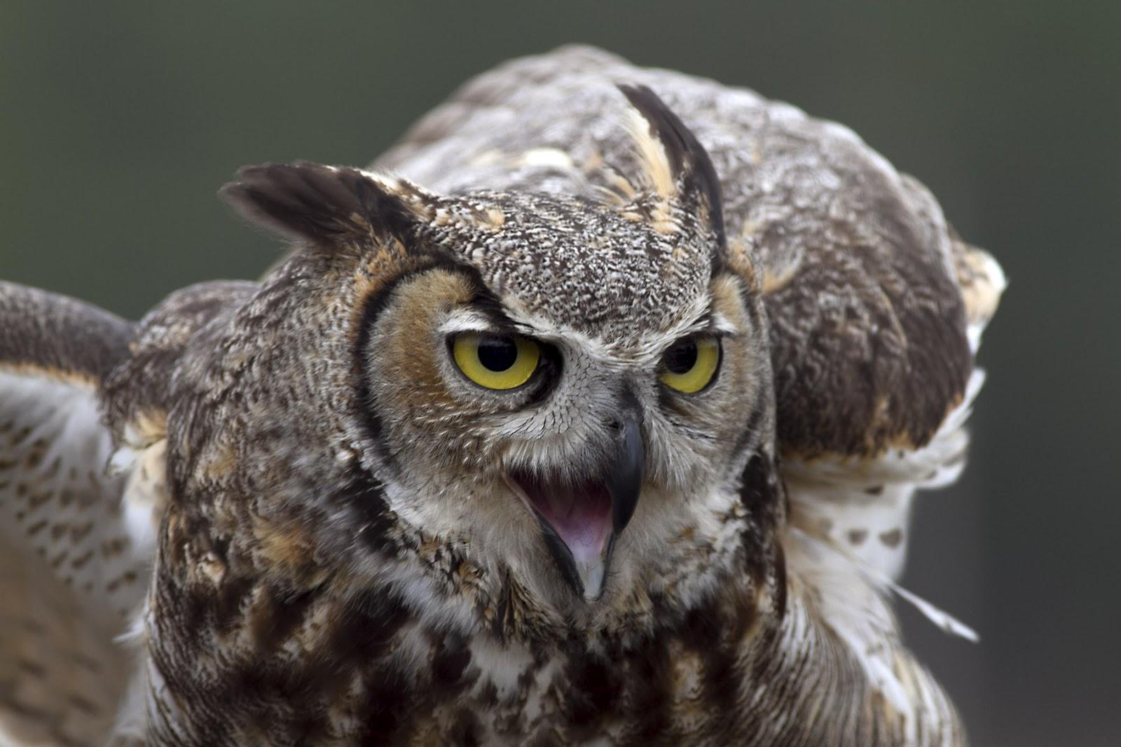 Flying Horned Owl Great horned owl - captiveFlying Horned Owl Tattoo