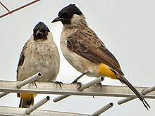 Gambar Cara Merawat Burung Kutilang Malaysia