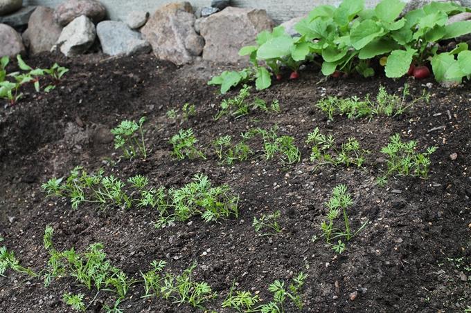 porkkanan ja retiisin taimet
