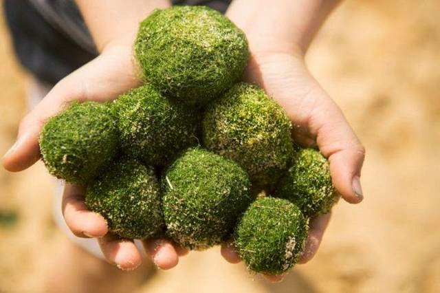Moss Balls — Unique Spherical Algae