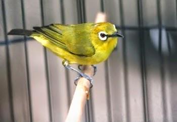 cara-merawat-burung-pleci