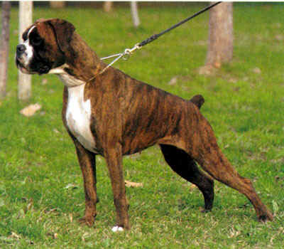 Best Color Collar For Brindle Dog