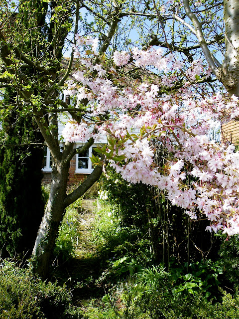 Pale pink blossom with my cottage in the background