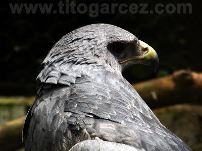 Águia-chilena (Buteo melanoleucus) no Parque dos Falcões, em Sergipe - Por Tito Garcez