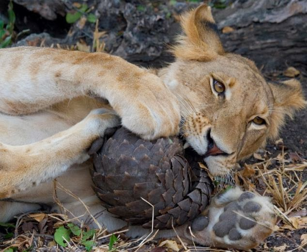 Lion trying to eat live Pangolin