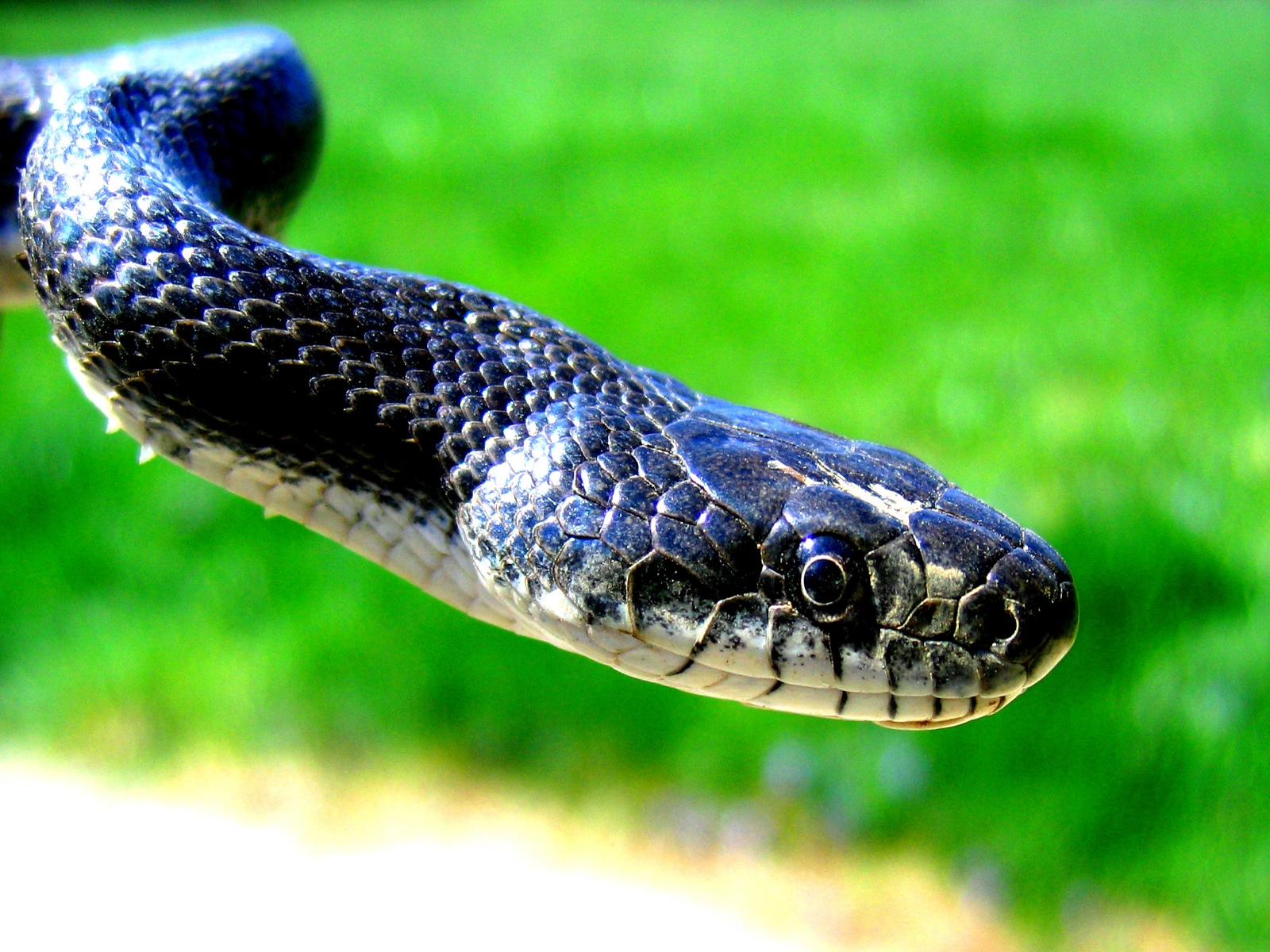 HD Wallpaper Of Blue Snake