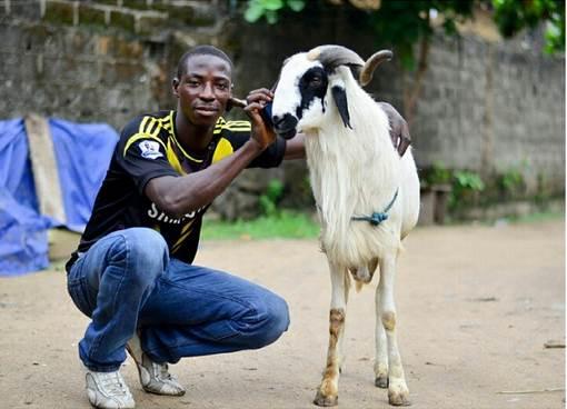 Everyday with His Ram Named Badoo (Photos) |Nigerian: Breaking News ...