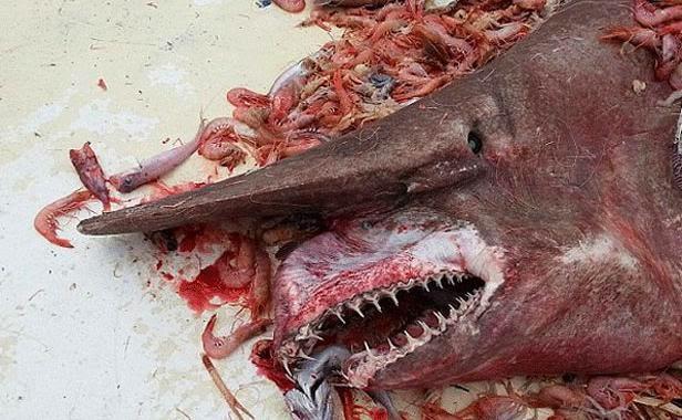 Requin Gobelin pêché au large de la Floride
