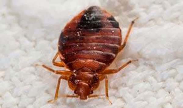 Bed Bugs Translate